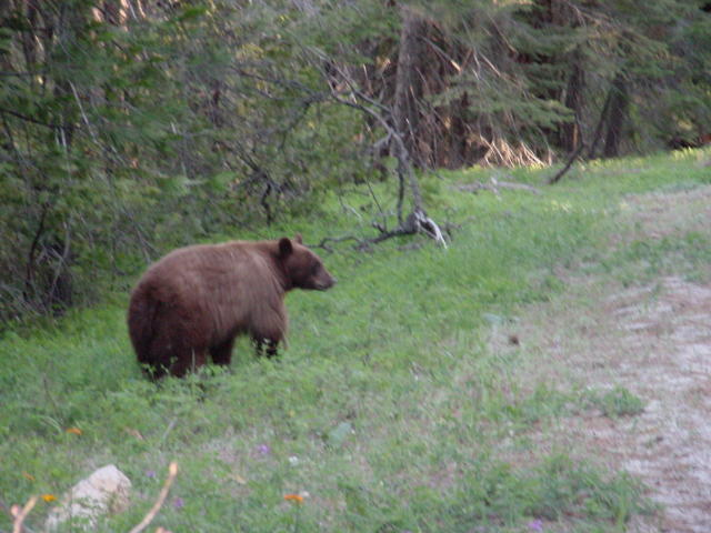 Black bear at the roadside in Yosemite Park