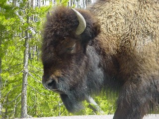 A bison strolls past the car window